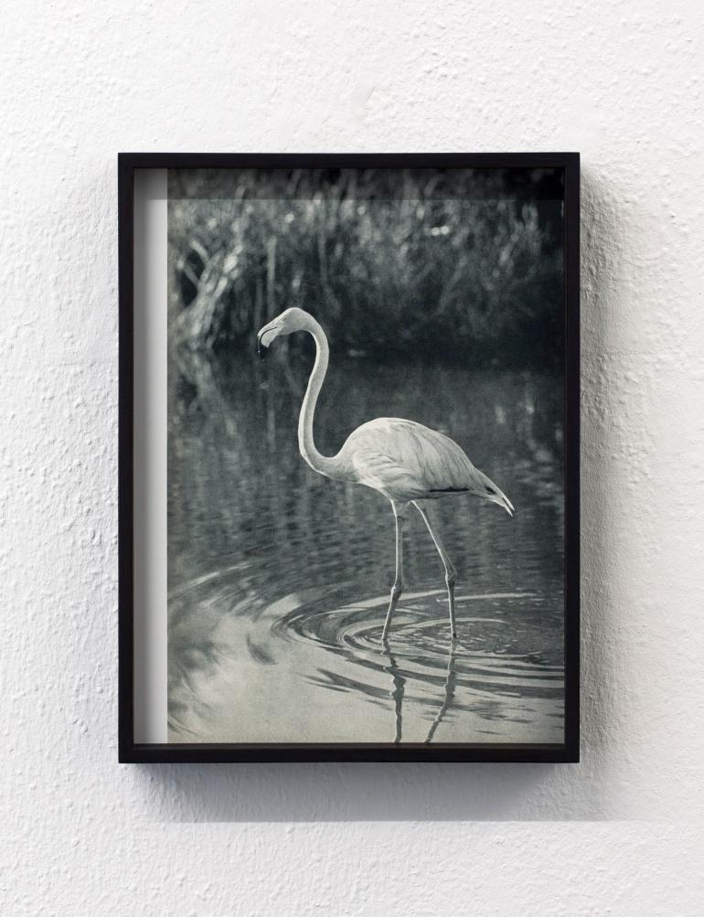 TL Der gewöhnliche Flamingo